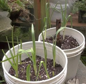 Garlics (front) Leeks (in back)